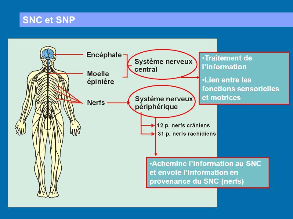 SNC et SNP Traitement de linformation Lien entre les fonctions sensorielles et motrices Achemine linformation au SNC et envoie linformation en provena