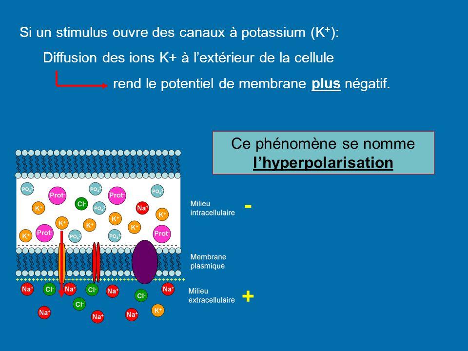 Si un stimulus ouvre des canaux à potassium (K + ): Diffusion des ions K+ à lextérieur de la cellule rend le potentiel de membrane plus négatif. Ce ph