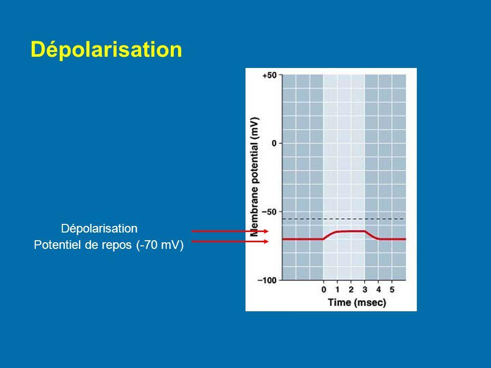 Dépolarisation Potentiel de repos (-70 mV)