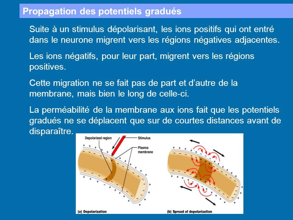 Propagation des potentiels gradués Suite à un stimulus dépolarisant, les ions positifs qui ont entré dans le neurone migrent vers les régions négative