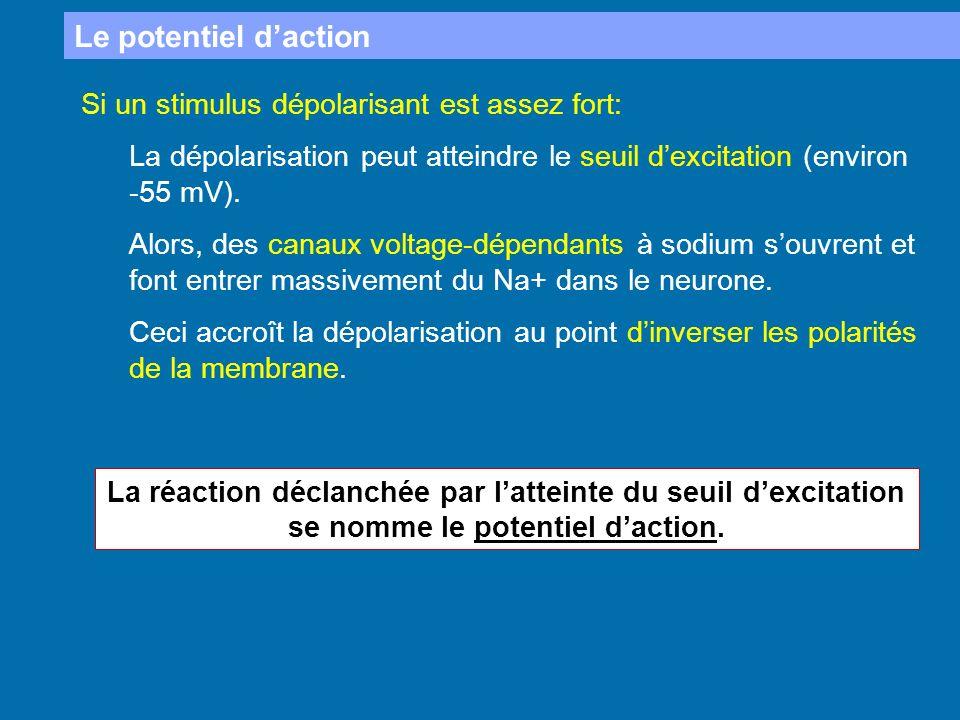 Le potentiel daction Si un stimulus dépolarisant est assez fort: La dépolarisation peut atteindre le seuil dexcitation (environ -55 mV). Alors, des ca