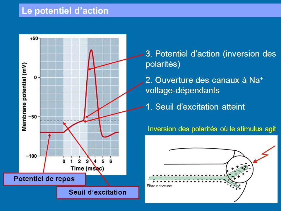 Le potentiel daction 1. Seuil dexcitation atteint Potentiel de repos Seuil dexcitation 2. Ouverture des canaux à Na + voltage-dépendants 3. Potentiel