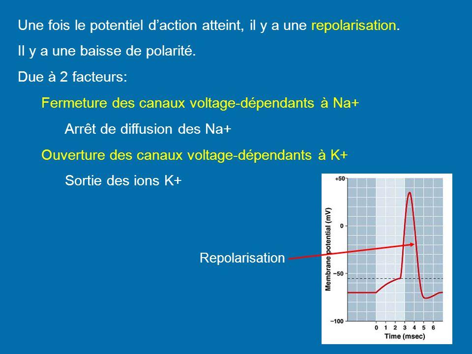 Une fois le potentiel daction atteint, il y a une repolarisation. Il y a une baisse de polarité. Due à 2 facteurs: Fermeture des canaux voltage-dépend