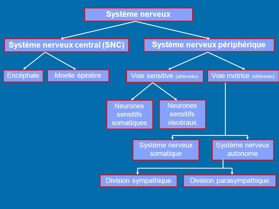 Système nerveux Système nerveux central (SNC) Système nerveux périphérique Encéphale Moelle épinière Voie sensitive (afférente) Voie motrice (efférent