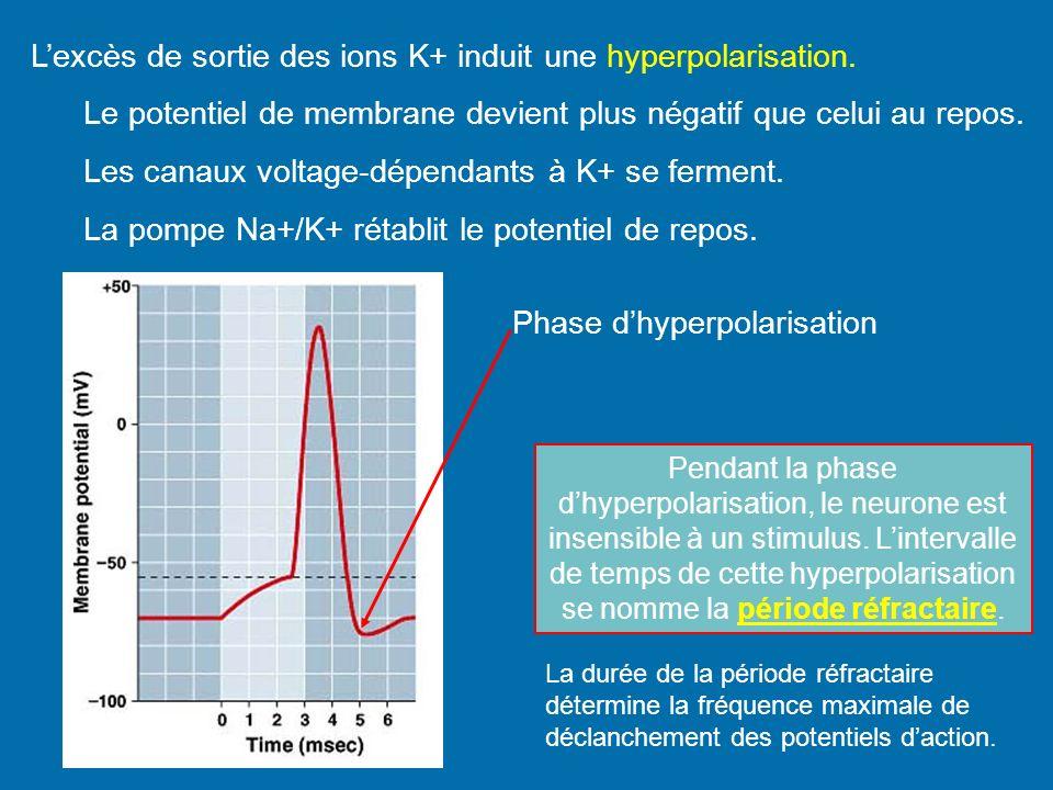 Lexcès de sortie des ions K+ induit une hyperpolarisation. Le potentiel de membrane devient plus négatif que celui au repos. Les canaux voltage-dépend