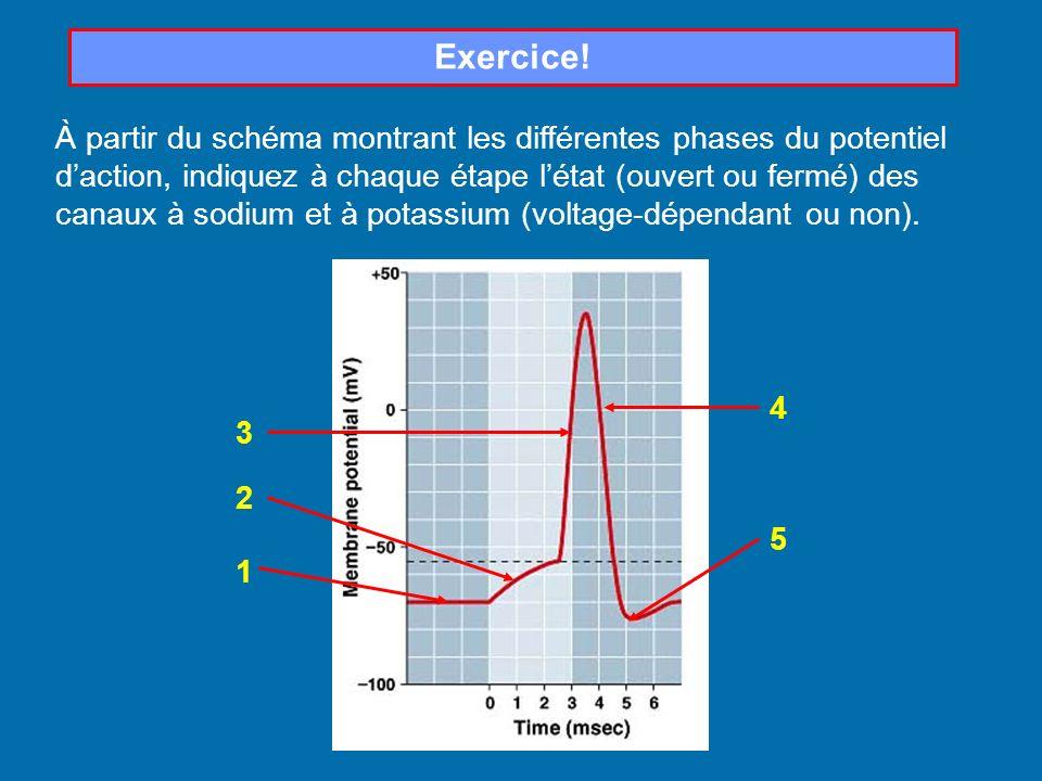 Exercice! À partir du schéma montrant les différentes phases du potentiel daction, indiquez à chaque étape létat (ouvert ou fermé) des canaux à sodium