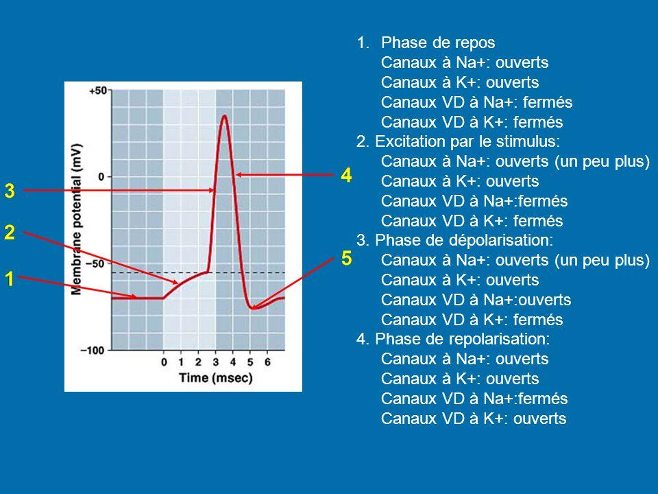 1.Phase de repos Canaux à Na+: ouverts Canaux à K+: ouverts Canaux VD à Na+: fermés Canaux VD à K+: fermés 2. Excitation par le stimulus: Canaux à Na+