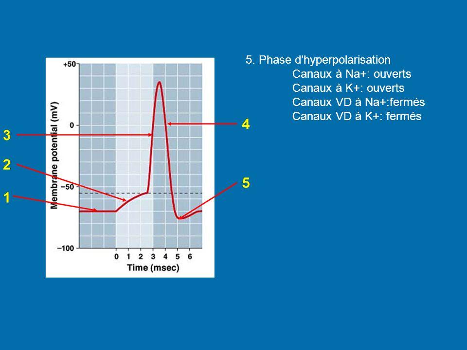 5. Phase dhyperpolarisation Canaux à Na+: ouverts Canaux à K+: ouverts Canaux VD à Na+:fermés Canaux VD à K+: fermés