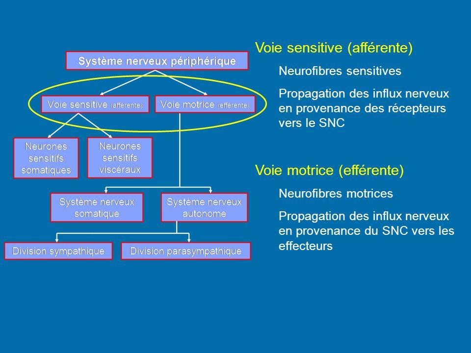 Voie sensitive (afférente) Neurofibres sensitives Propagation des influx nerveux en provenance des récepteurs vers le SNC Voie motrice (efférente) Neu