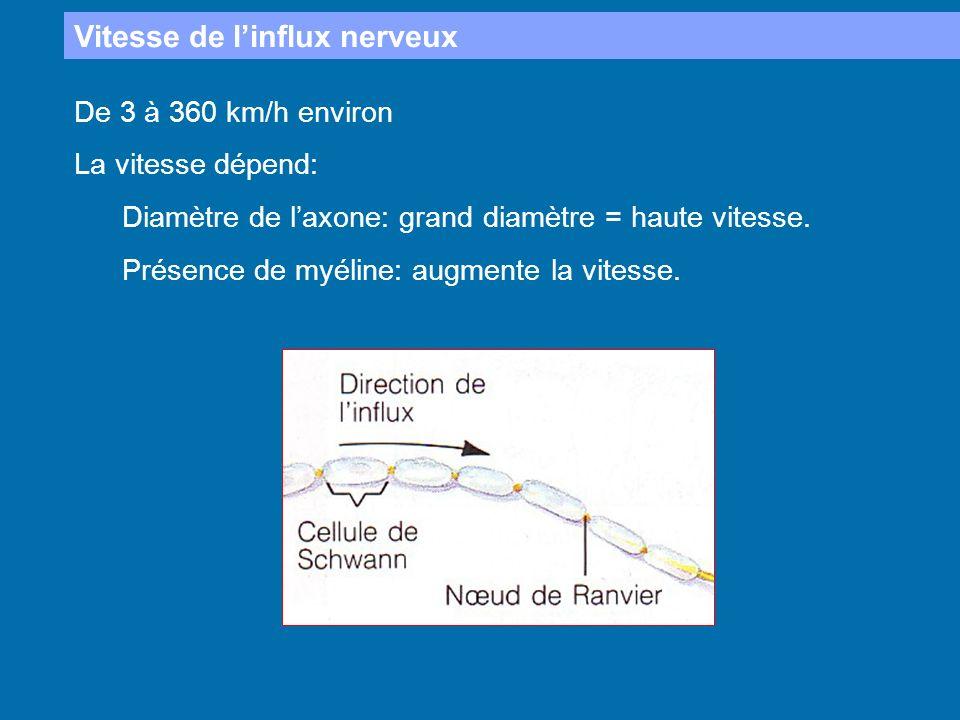 Vitesse de linflux nerveux De 3 à 360 km/h environ La vitesse dépend: Diamètre de laxone: grand diamètre = haute vitesse. Présence de myéline: augment