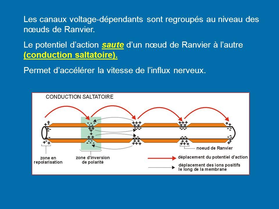 Les canaux voltage-dépendants sont regroupés au niveau des nœuds de Ranvier. Le potentiel daction saute dun nœud de Ranvier à lautre (conduction salta