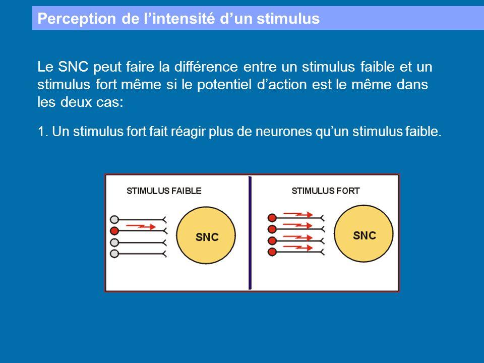Perception de lintensité dun stimulus Le SNC peut faire la différence entre un stimulus faible et un stimulus fort même si le potentiel daction est le