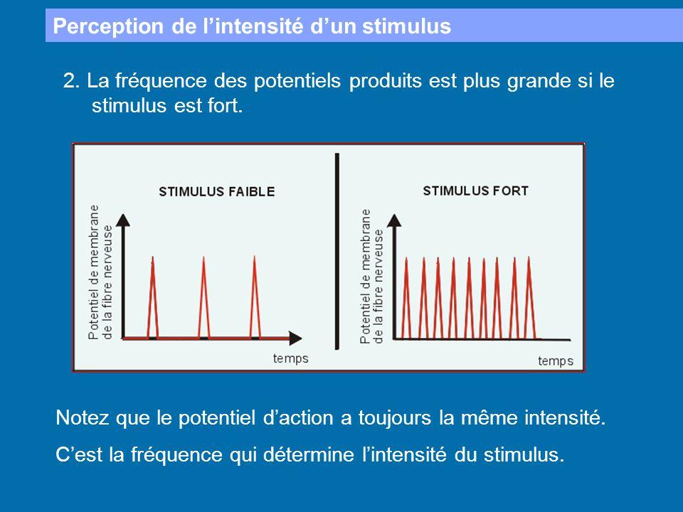 Perception de lintensité dun stimulus 2. La fréquence des potentiels produits est plus grande si le stimulus est fort. Notez que le potentiel daction