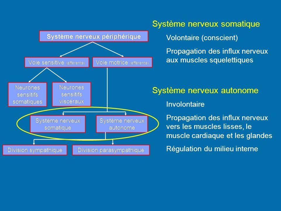 Système nerveux somatique Volontaire (conscient) Propagation des influx nerveux aux muscles squelettiques Système nerveux autonome Involontaire Propag