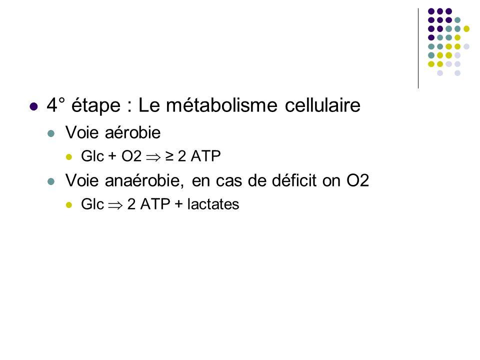 4° étape : Le métabolisme cellulaire Voie aérobie Glc + O2 2 ATP Voie anaérobie, en cas de déficit on O2 Glc 2 ATP + lactates