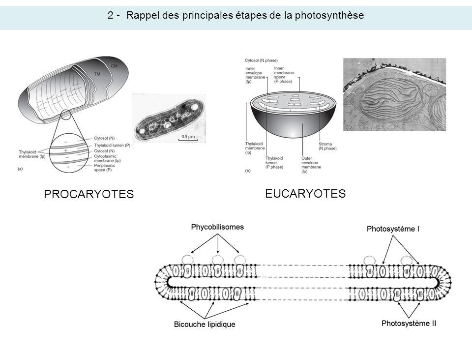 2 -Rappel des principales étapes de la photosynthèse PROCARYOTES EUCARYOTES