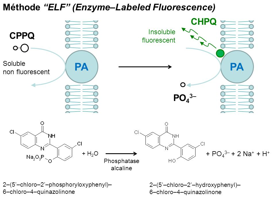 PA CPPQ PA CHPQ PO 4 3– + PO 4 3– + 2 Na + + H + + H 2 O Phosphatase alcaline Méthode ELF (Enzyme–Labeled Fluorescence) 2–(5–chloro–2–phosphoryloxyphe