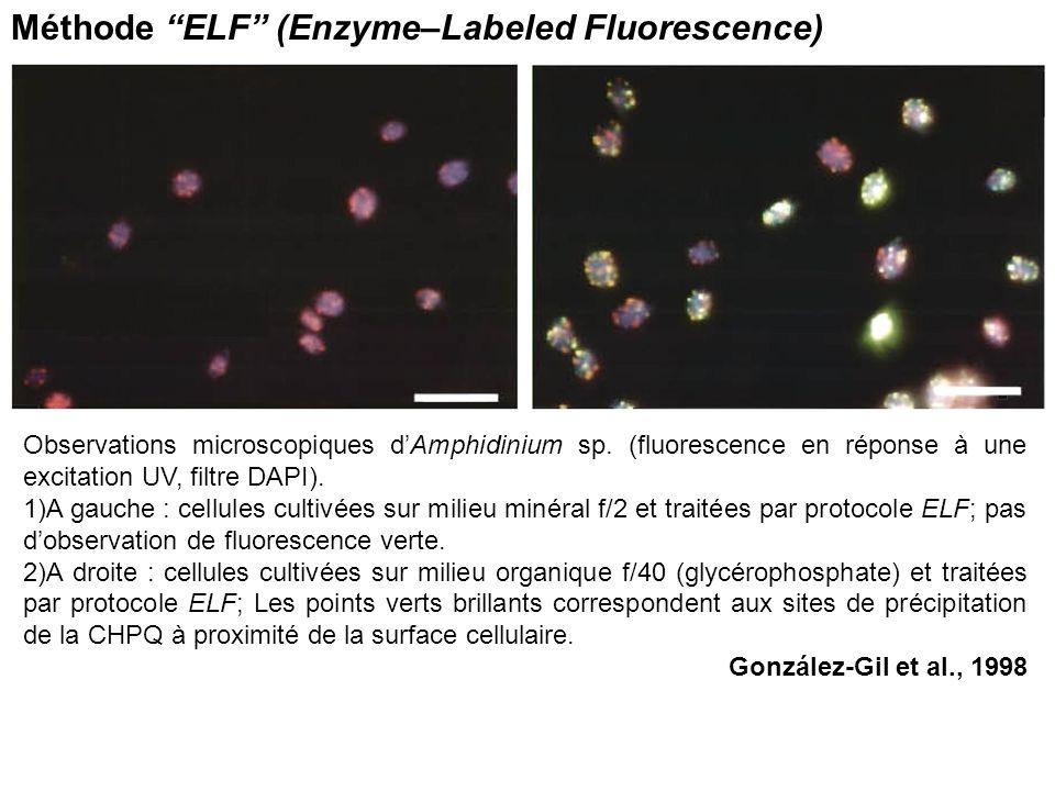 Observations microscopiques dAmphidinium sp. (fluorescence en réponse à une excitation UV, filtre DAPI). 1)A gauche : cellules cultivées sur milieu mi