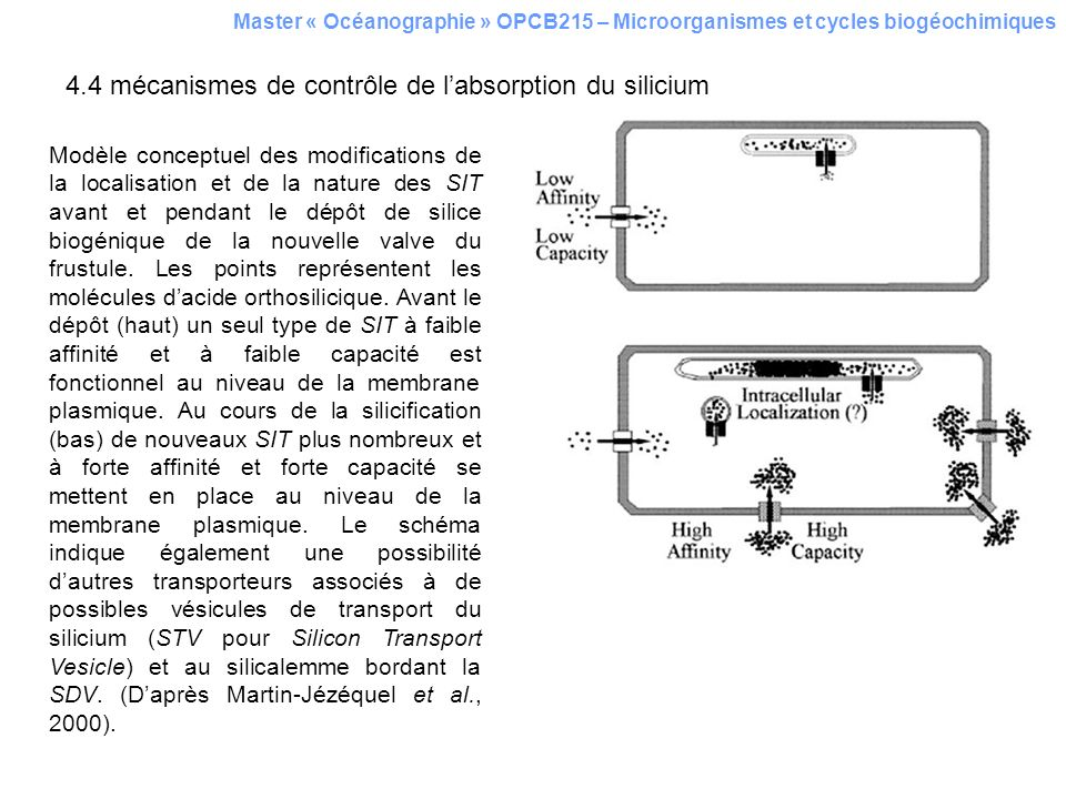 4.4 mécanismes de contrôle de labsorption du silicium Master « Océanographie » OPCB215 – Microorganismes et cycles biogéochimiques Modèle conceptuel d