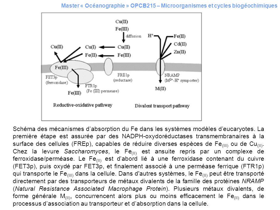 Master « Océanographie » OPCB215 – Microorganismes et cycles biogéochimiques Schéma des mécanismes dabsorption du Fe dans les systèmes modèles deucary
