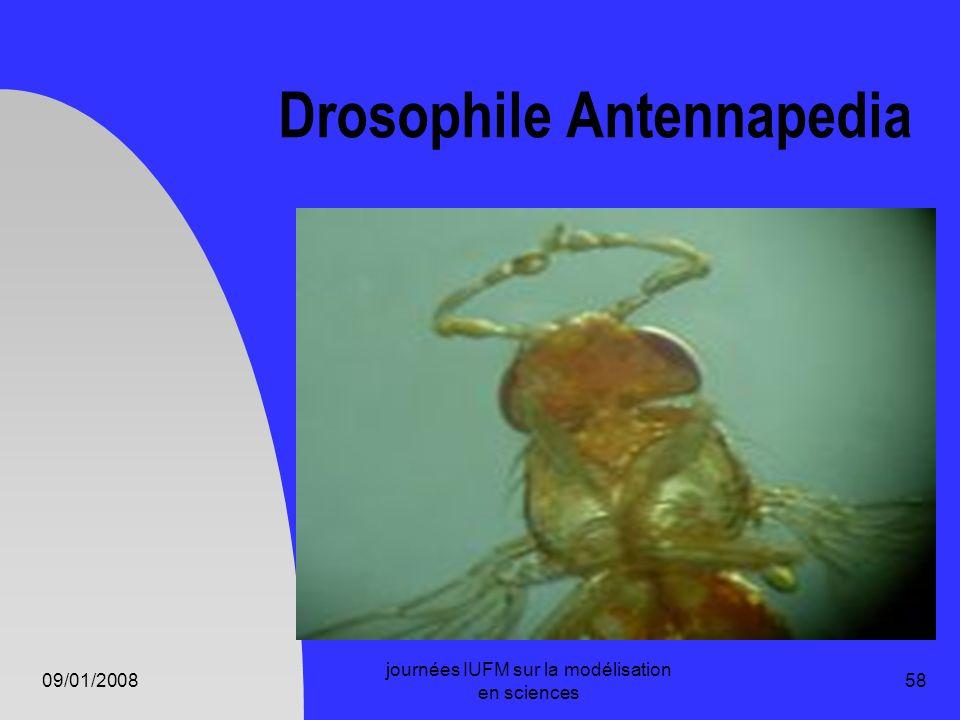 09/01/2008 journées IUFM sur la modélisation en sciences 58 Drosophile Antennapedia