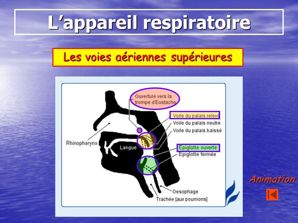 Lappareil respiratoire Les voies aériennes supérieures Animation
