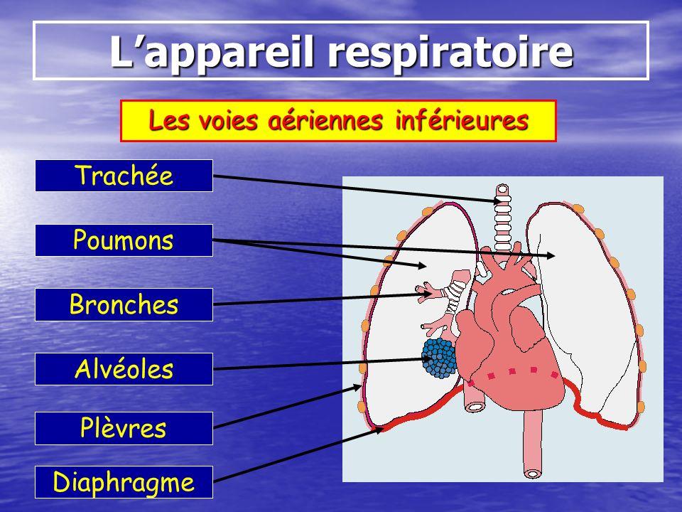 Lappareil respiratoire Les voies aériennes inférieures Trachée Poumons Bronches Alvéoles Plèvres Diaphragme