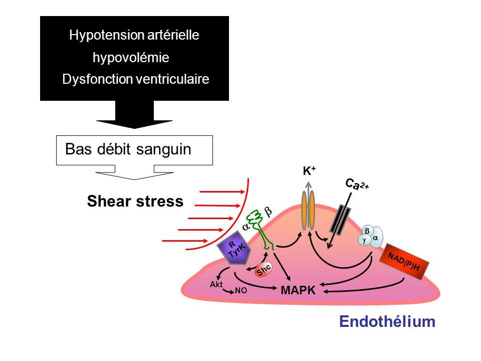 Endothélium Shc K+K+ Ca 2+ Akt NO MAPK R TyrK NAD(P)H Shear stress Hypotension artérielle hypovolémie Dysfonction ventriculaire Bas débit sanguin