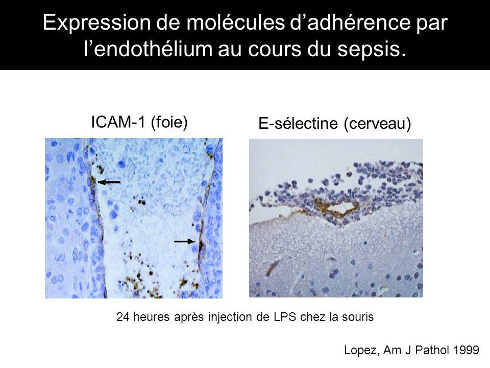 ICAM-1 (foie) E-sélectine (cerveau) Lopez, Am J Pathol 1999 24 heures après injection de LPS chez la souris Expression de molécules dadhérence par len