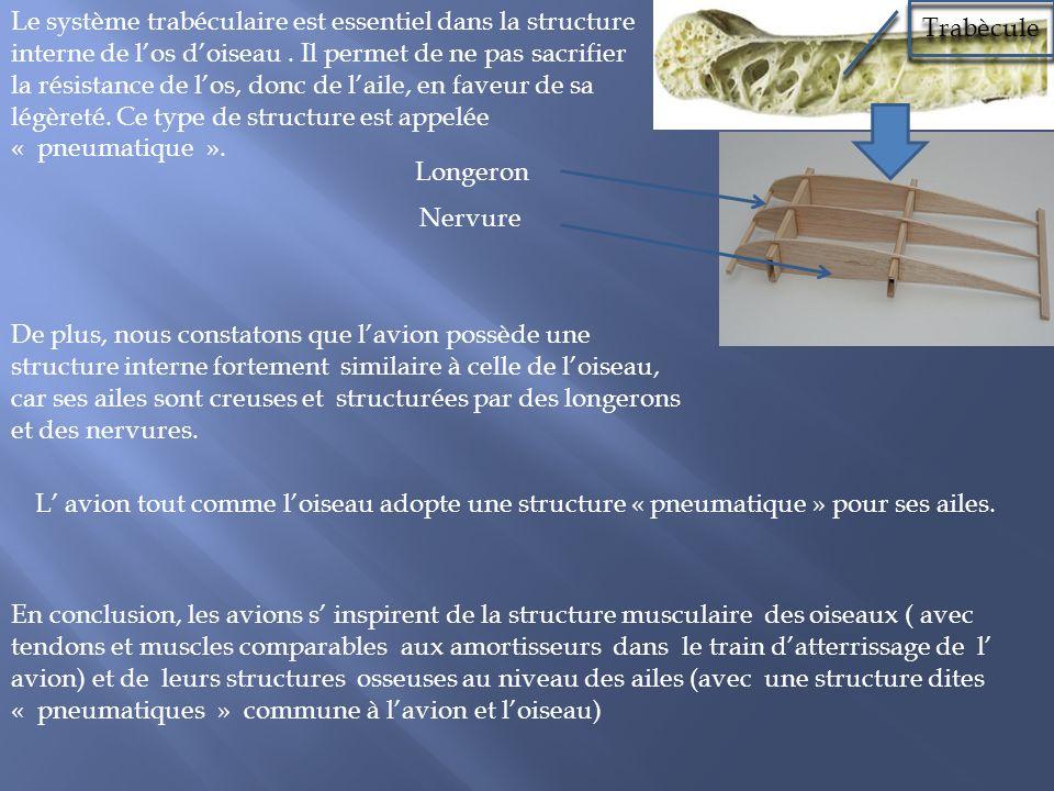Le système trabéculaire est essentiel dans la structure interne de los doiseau. Il permet de ne pas sacrifier la résistance de los, donc de laile, en