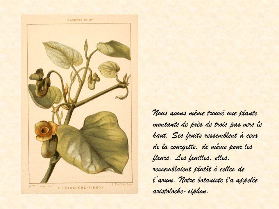 Nous avons même trouvé une plante montante de près de trois pas vers le haut. Ses fruits ressemblent à ceux de la courgette, de même pour les fleurs.