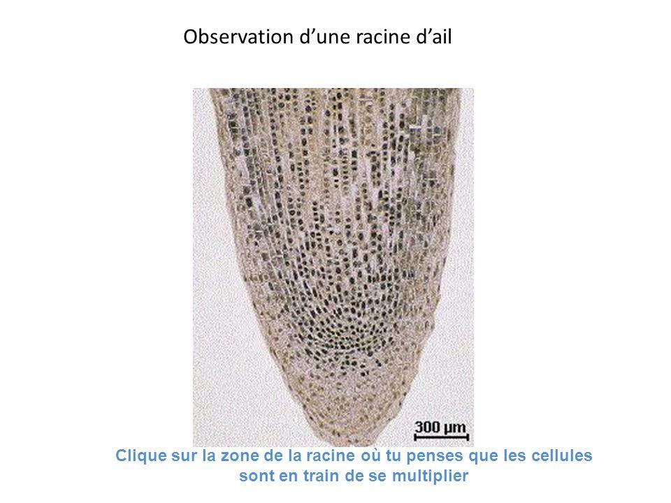 Observation dune racine dail Clique sur la zone de la racine où tu penses que les cellules sont en train de se multiplier