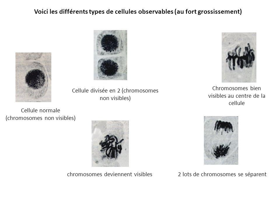 Voici les différents types de cellules observables (au fort grossissement) Cellule normale (chromosomes non visibles) chromosomes deviennent visibles Cellule divisée en 2 (chromosomes non visibles) Chromosomes bien visibles au centre de la cellule 2 lots de chromosomes se séparent