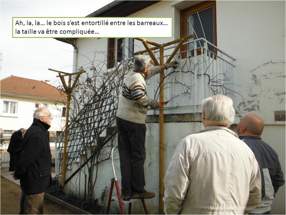Ah, la, la… le bois sest entortillé entre les barreaux… la taille va être compliquée…