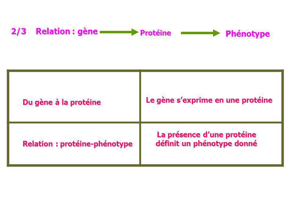 Du gène à la protéine Relation : protéine-phénotype Le gène sexprime en une protéine La présence dune protéine définit un phénotype donné 2/3 Relation