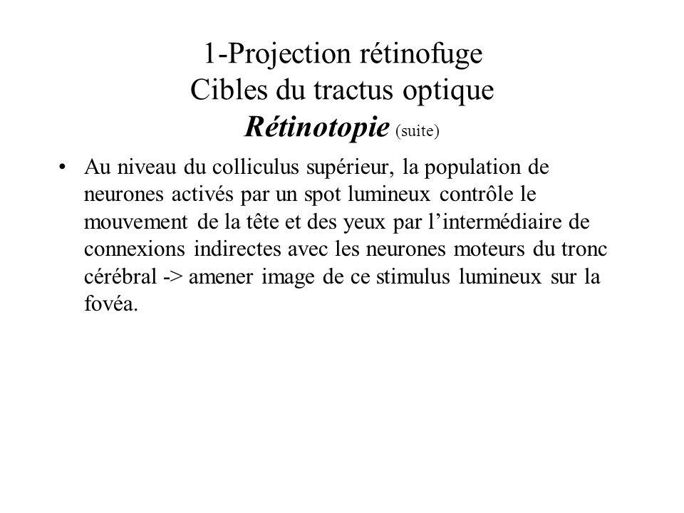 1-Projection rétinofuge Cibles du tractus optique Rétinotopie (suite) Au niveau du colliculus supérieur, la population de neurones activés par un spot