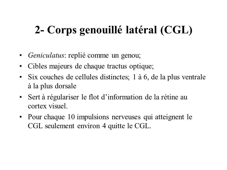 2- Corps genouillé latéral (CGL) Geniculatus: replié comme un genou; Cibles majeurs de chaque tractus optique; Six couches de cellules distinctes; 1 à