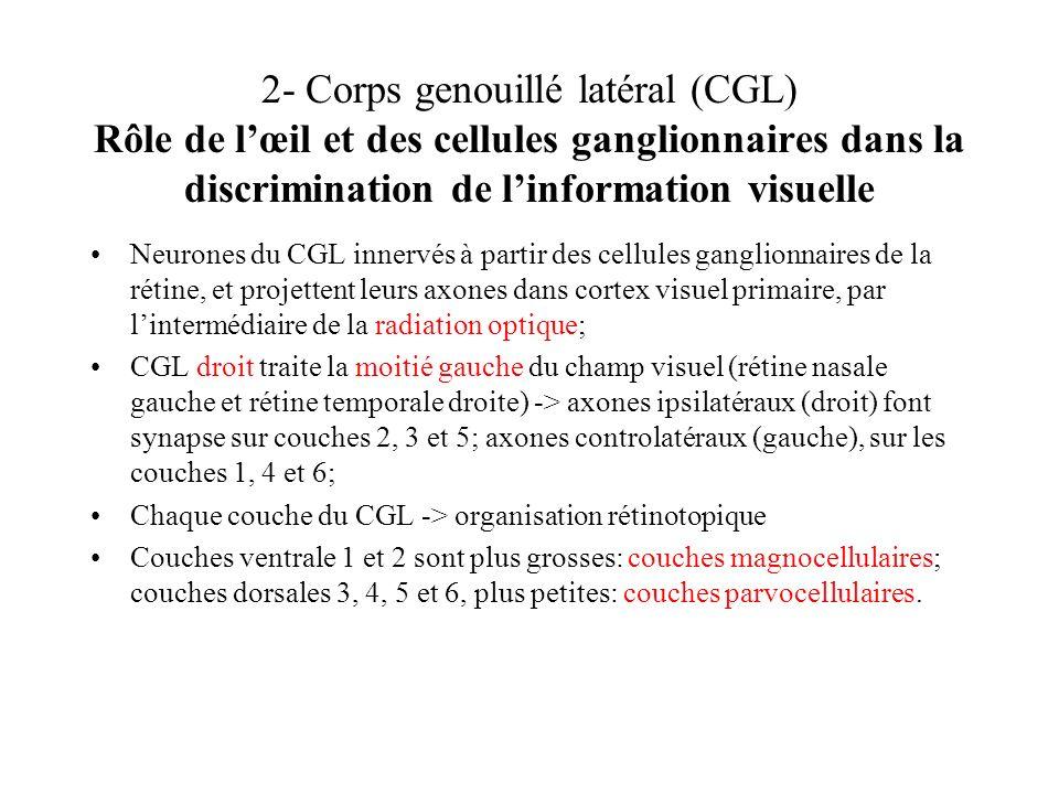 2- Corps genouillé latéral (CGL) Rôle de lœil et des cellules ganglionnaires dans la discrimination de linformation visuelle Neurones du CGL innervés