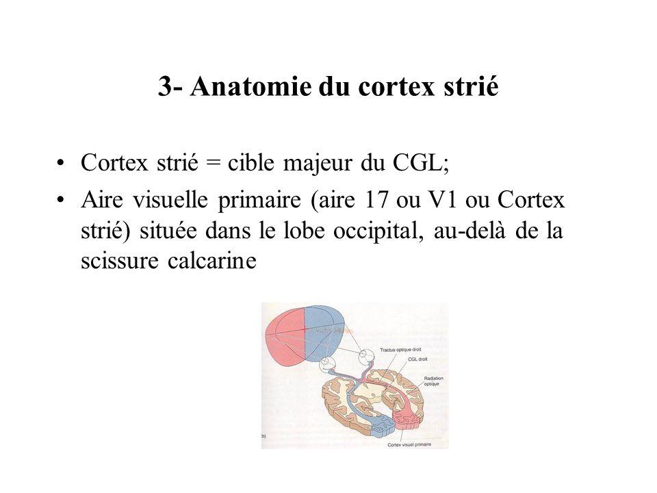 3- Anatomie du cortex strié Cortex strié = cible majeur du CGL; Aire visuelle primaire (aire 17 ou V1 ou Cortex strié) située dans le lobe occipital,