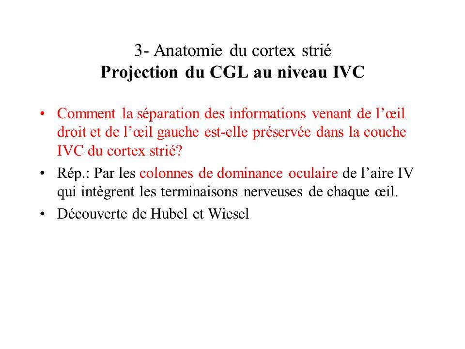 3- Anatomie du cortex strié Projection du CGL au niveau IVC Comment la séparation des informations venant de lœil droit et de lœil gauche est-elle pré