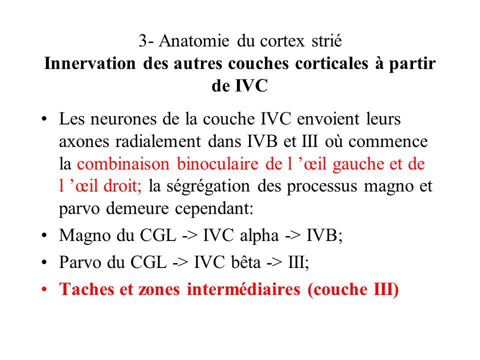 3- Anatomie du cortex strié Innervation des autres couches corticales à partir de IVC Les neurones de la couche IVC envoient leurs axones radialement