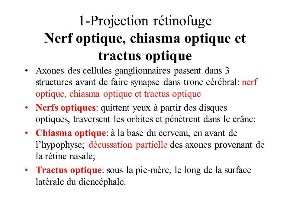 1-Projection rétinofuge Nerf optique, chiasma optique et tractus optique Axones des cellules ganglionnaires passent dans 3 structures avant de faire s