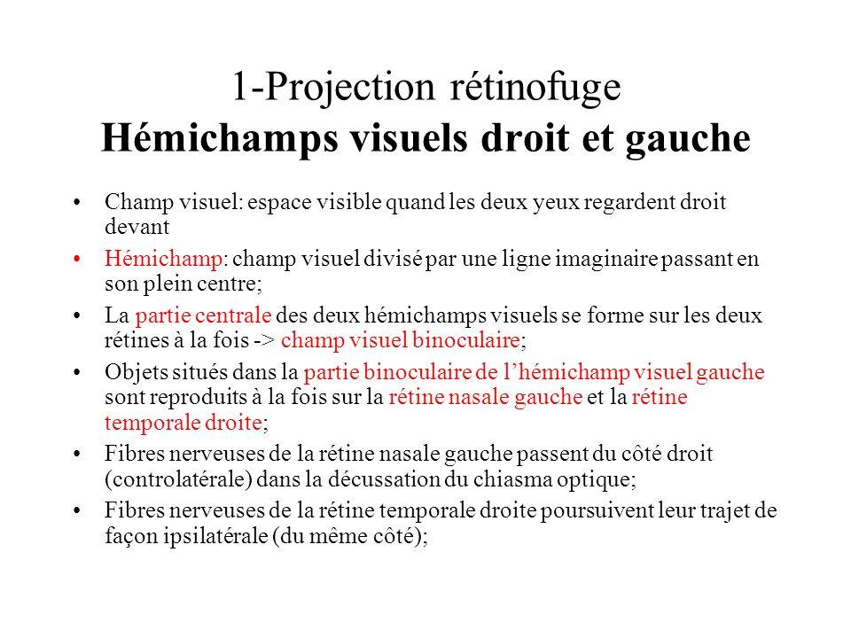1-Projection rétinofuge Hémichamps visuels droit et gauche Champ visuel: espace visible quand les deux yeux regardent droit devant Hémichamp: champ vi