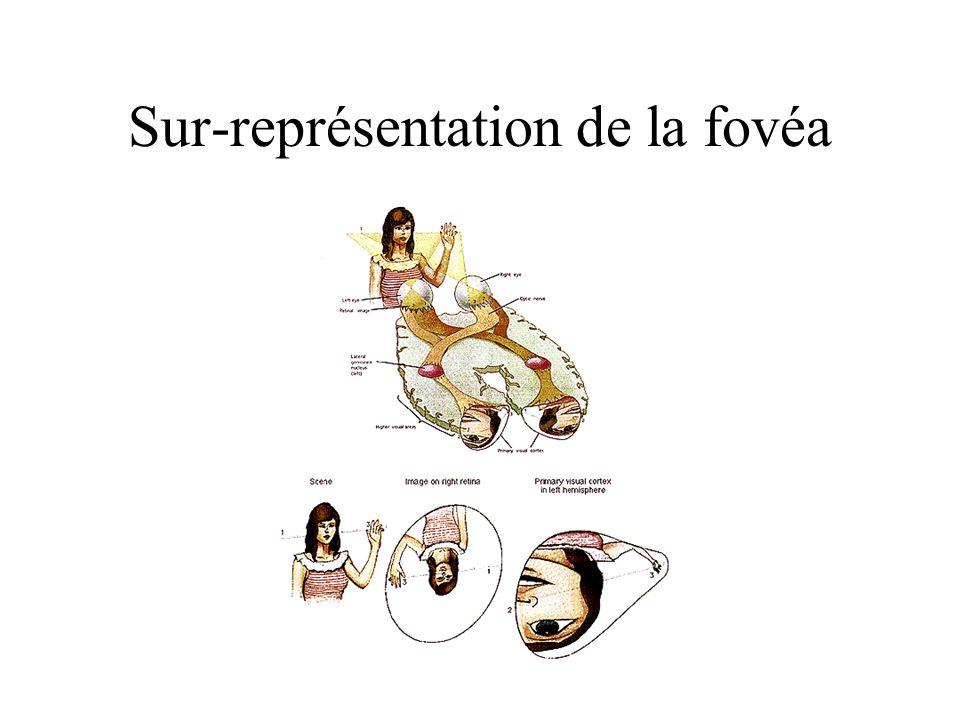 Sur-représentation de la fovéa