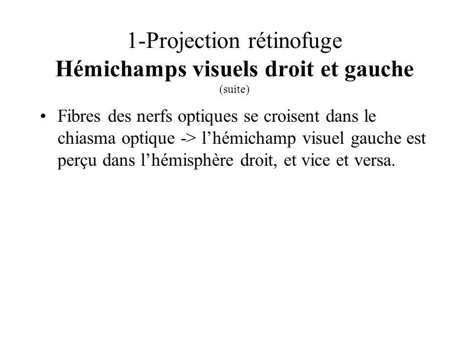 1-Projection rétinofuge Hémichamps visuels droit et gauche (suite) Fibres des nerfs optiques se croisent dans le chiasma optique -> lhémichamp visuel