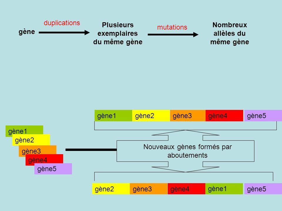 gène Plusieurs exemplaires du même gène Nombreux allèles du même gène gène1 gène2 gène3 gène4 gène5 gène1gène2gène3gène4gène5 gène2gène3gène4gène5 gène1 Nouveaux gènes formés par aboutements duplications mutations