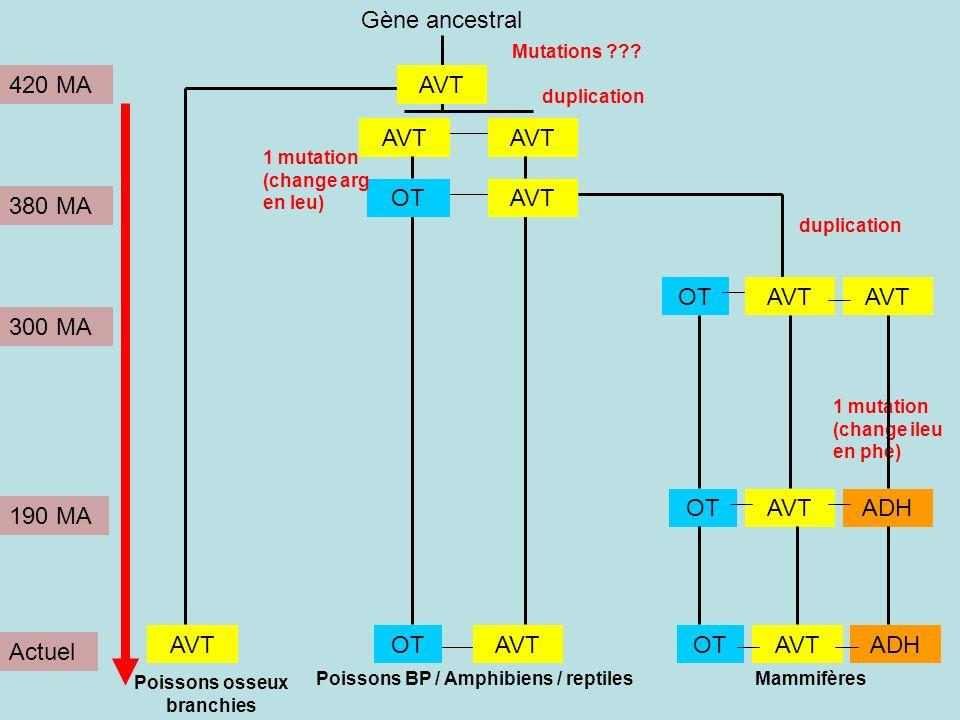 Gène ancestral 300 MA Actuel Poissons osseux branchies Poissons BP / Amphibiens / reptilesMammifères AVT OTAVTADHOT AVT duplication AVTOTAVT duplication AVTOT 380 MA 1 mutation (change arg en leu) AVTADHOT 190 MA 1 mutation (change ileu en phe) 420 MAAVT Mutations ???