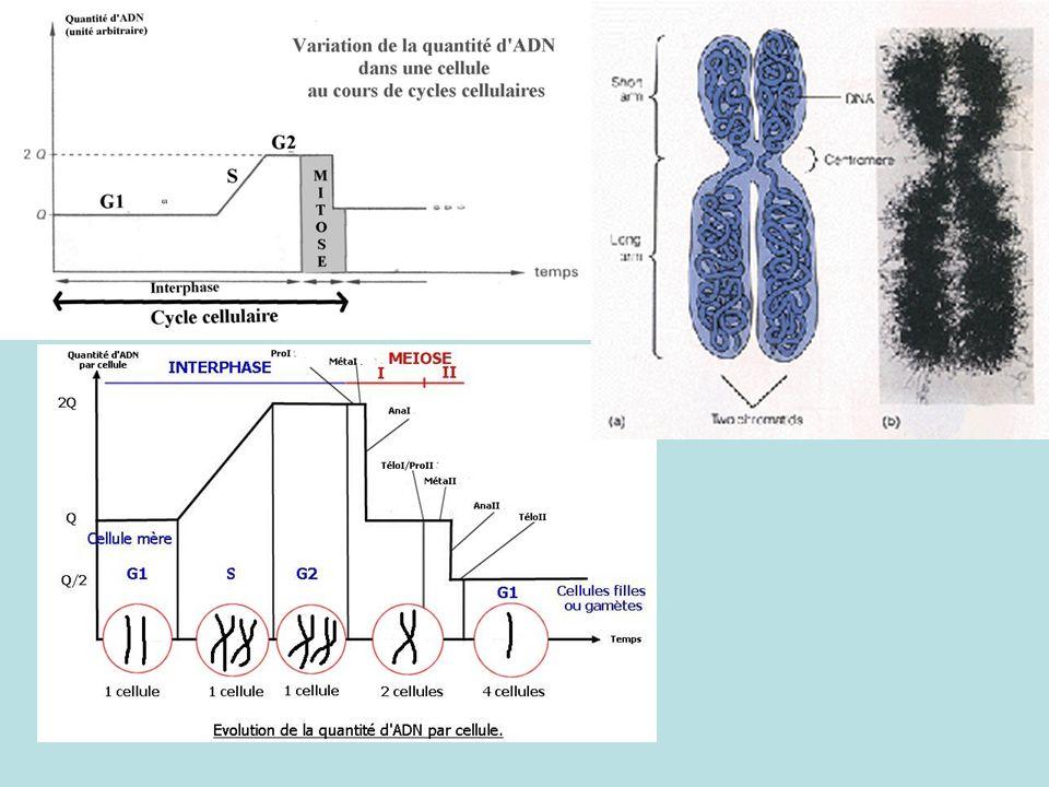 B- Mutations et innovations génétiques Fiche rappel sur notions de 2nde et 1ère S 1°)- Mise en évidence dun polymorphisme génétique 2ème exemple : Le système HLA (CMH) plusieurs gènes avec chacun de nombreux allèles.