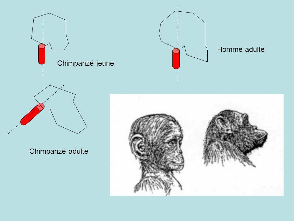 Chimpanzé jeune Chimpanzé adulte Homme adulte