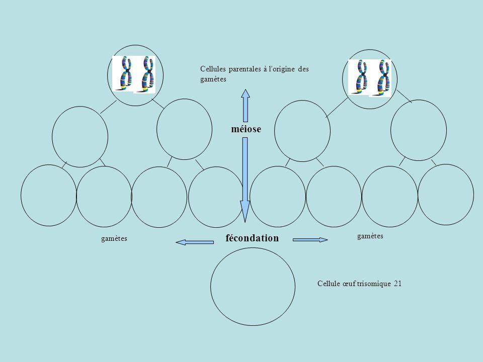 Cellules parentales à l origine des gamètes méiose gamètes fécondation Cellule œuf trisomique 21